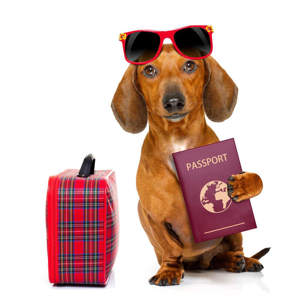 Opciones para que una mascota viaje con nosotros